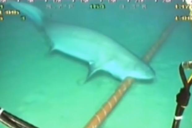 Rekiny czasem podgryzają takie kable