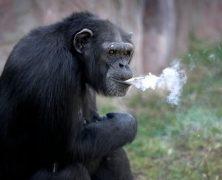 Szympans i HTC Vive